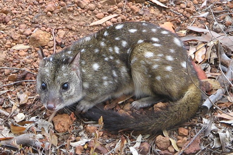 Feral Cat Adaptations In Australia